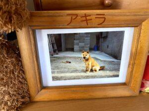 17歳で天国に行った柴犬アキラの写真。こっち向いて笑っているような顔です。