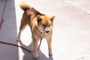私が買っていたペットの柴犬アキラが元気な頃の写真