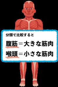 筋肉の役割についてイラストで解説しています。分類で比較すると腹筋は大きな筋肉で咽頭は小さな筋肉というのが分かるような筋肉の画像